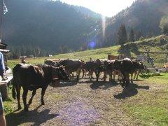 Alpe-Gschwenderberg-Viehabtrieb-10.jpg